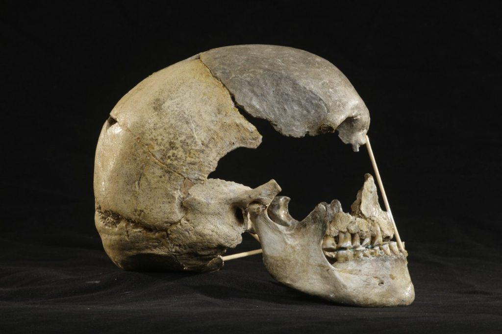 Zlatı kůňnun çoğunlukla eksiksiz olan kafatasının yandan görünüşü. Foto: Martin Frouz