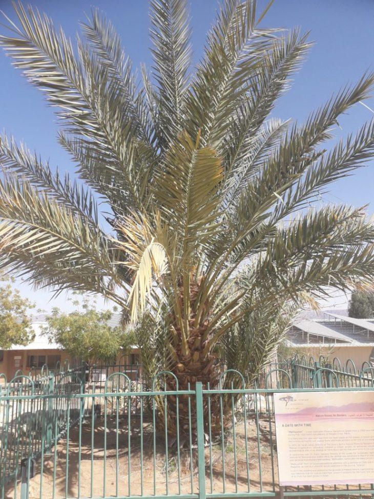 İsrail'de 2.000 yıllık çekirdekten yetişen hurma ağacı