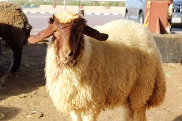 İranian-sheep