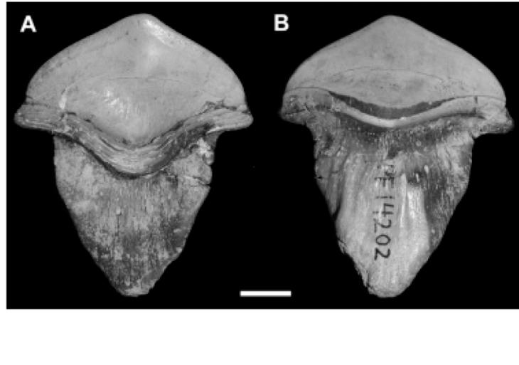 Petalodus Köpekbalığı dişi