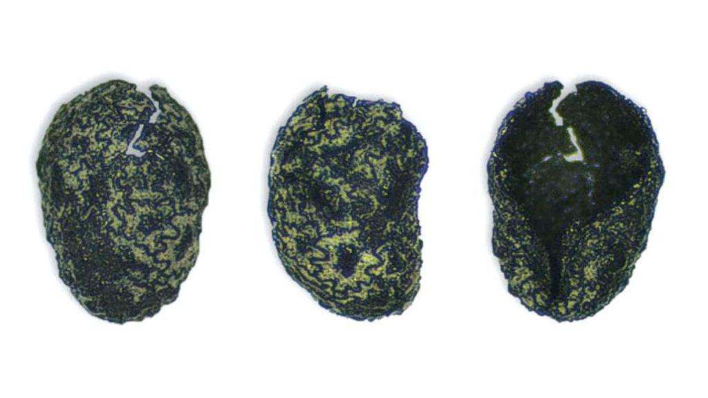 Utah'ta bulunan kömürleşmiş tütün tohumları